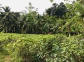 Tea Land/ Commercial land (mixed Cropping with Coconut) For Sale In Galle, Mabotuwana., maruads.lk